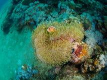 Undersea storartad anemon med fisken Arkivfoto