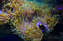 Undersea world. Beauty of the undersea world (sea anemone and a clown fish Stock Images
