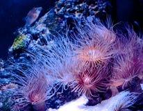 Undersea world. Beautiful pink algae sway under the water Stock Photos