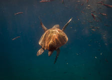 Undersea world. Sea turtle. Stock Photo