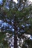Undersida av barrträdet arkivfoton