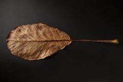 Undersida av det bruna ovala bladet på svart bakgrund som är horisontal Arkivfoton