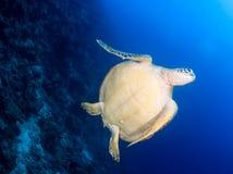 Undersida av en havssköldpadda bredvid en revvägg royaltyfria bilder