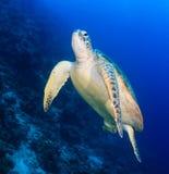 Undersida av en havssköldpadda bredvid en revvägg arkivbild