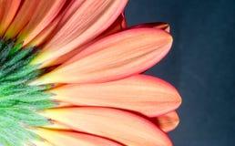 Undersida av en krysantemumblomma Fotografering för Bildbyråer