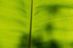 Undersida av ett bananblad Arkivfoto