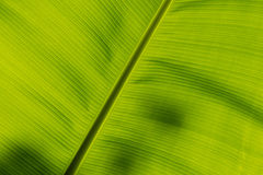 Undersida av ett bananblad Arkivbilder