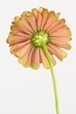 Undersida av zinniablomman Royaltyfri Fotografi