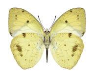 Undersida för fjärilsIxias undatus Arkivfoton