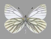 Undersida för man för fjärilsPierisnapi Arkivfoton