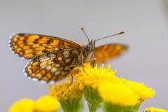 Undersidavingar av Heath Fritillary Butterfly arkivfoto