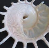 Underside ενός θαλασσινού κοχυλιού Stellaria Solaris Στοκ Εικόνες