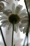 Underside της Daisy άποψη Στοκ Φωτογραφία