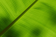 Underside of a banana leaf Royalty Free Stock Image
