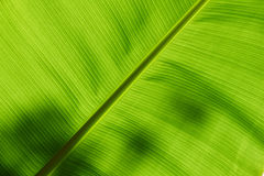 Underside of a banana leaf Royalty Free Stock Photo