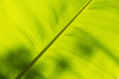 Underside of a banana leaf Stock Photography