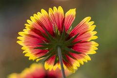 Underside of  beautiful back-lit flower in full blooming Stock Images