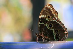 Underside of Blue Morpho butterfly Royalty Free Stock Photography