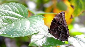 Underside of Blue Morpho butterfly on green leaf Stock Photos