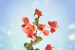 Underside of a Bogainvillea climbing plant Stock Images