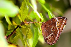 Underside of butterfly, blue Morpho on green leaf Royalty Free Stock Photography