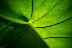 Underside of Calasia Stock Photography