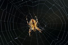 Underside closeup of a pumpkin spider marbled orb-weaver on a web with a dark background stock photos