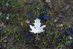 Underside of a fallen leaf in autumn. Autumn leaf on the floor creating contrast Stock Image
