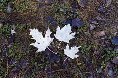 Underside of fallen leaves in autumn. Three autumn leaf on the floor creating contrast Stock Photo