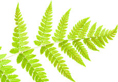 Underside of a fern leaf Royalty Free Stock Photos