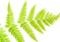 Underside of a fern leaf Royalty Free Stock Photos