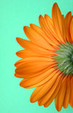 Underside of Flower. Underside of orange gerbera isolated against green Stock Photo