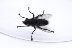 Underside of a fly in a glass Royalty Free Stock Image