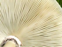 Underside gills of mushroom fungi texture Stock Photos