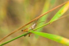 Underside of a Grasshopper Royalty Free Stock Photos