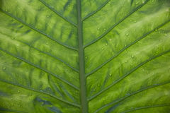 Underside Of A Green Leaf Royalty Free Stock Photo