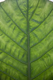 Underside Of A Green Leaf Royalty Free Stock Photos