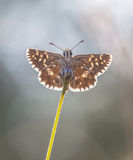 Underside of Grizzled Skipper Butterfly (Pyrgus malvae) on Flowe Stock Image