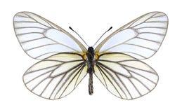 Underside hippia Aporia πεταλούδων Στοκ Εικόνες