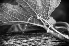 Underside of a leaf and curly tendril Stock Image