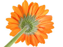 Underside of Orange Gerber Daisy Focus on Sepal. Shot in studio over white Stock Photography