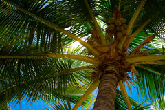 Underside of palm tree Royalty Free Stock Photos