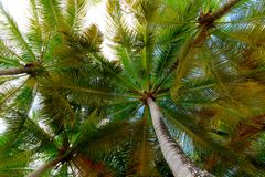 Underside of Palm Trees from below stock photography