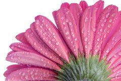 Underside of a pink Gerbera daisy flower with water droplets Stock Photography