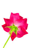 Underside of red rose flower and stem. Stock Photo