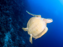 Underside of a sea turtle next to a reef wall Royalty Free Stock Images