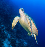 Underside of a sea turtle next to a reef wall Stock Photography