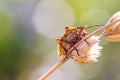 Underside shieldbug Royalty Free Stock Images
