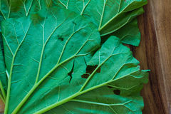 Underside of slug damaged rhubarb leaves on a wood background. Close up, selective focus, copy space Stock Photography