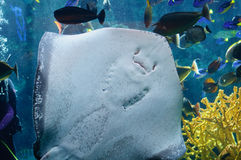 Underside of a Southern Stingray under the light Royalty Free Stock Images